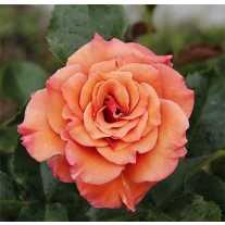 Роза ANN HENDERSON