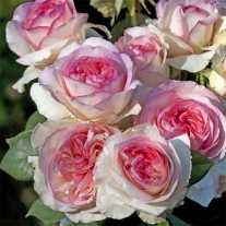 Роза BOREALE