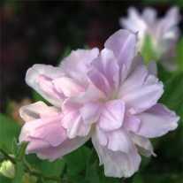 Калистегия плющевидная 'Flore Pleno' (С2)
