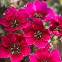 Герань пепельная Jolly Jewel ® Red