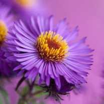 Астра новоанглийская 'Violetta'
