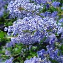 Краснокоренник 'Autumnal Blue' (Р9)