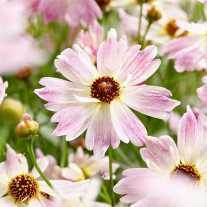 Кореопсис розовый 'Bloomsation Chameleon'