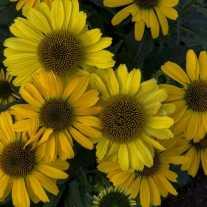 Эхинацея 'Yellow My Darling' (Р9)