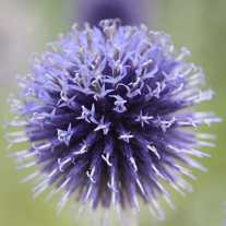 Мордовник 'Veitch's Blue'