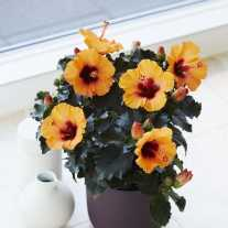 Гибискус HibisQs® LongiFlora™ Petit Orange (Р9)