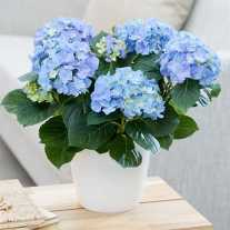 Гортензия 'Early Blue'® (С3)