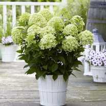 Гортензия Gardenlights® Whitelight® (С2)