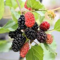 Ежевика 'BonBonBerry Mojo Berry' (Р12)