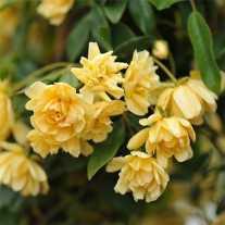 Роза banksiae 'Lutea'