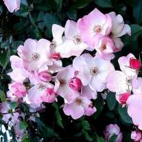 Роза 'Rush'