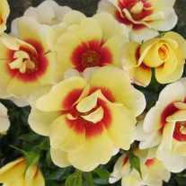 Роза 'Sweet Spot™ Yellow'