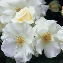 Роза 'White Flower Carpet'