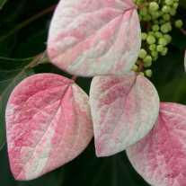 Схизофрагма гортензиевидная Rose Sensation™ (С3)