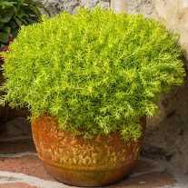 Очиток Lemon Coral® (P9)