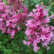 Сирень Bloomerang® Dwarf Pink (P9)