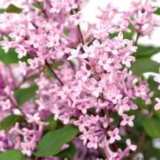 Сирень Bloomerang 'Pink Perfume'