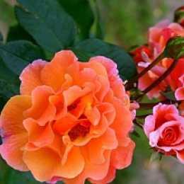 Роза Arabia