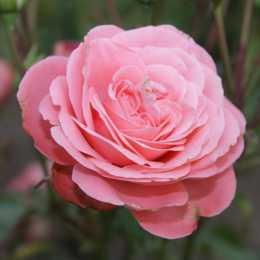 Роза Schackenborg