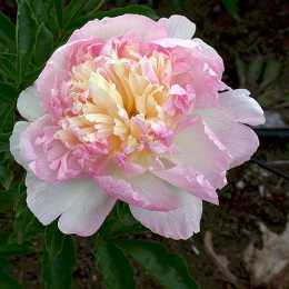 Пион 'Raspberry Sundae'