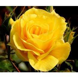 Роза Frisco