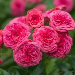 Роза Cri Cri