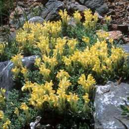Шлемник восточный / Scutellaria orientalis