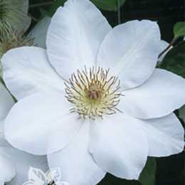 Клематис крупноцветковый Ежи Попелушко