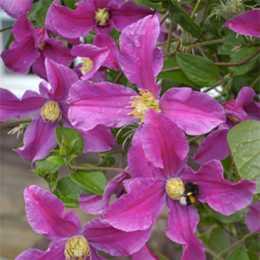 Клематис крупноцветковый Инспирэйшн / Clematis integrifolia INSPIRATION