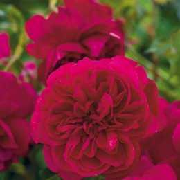 Роза 'Thomas A' Becket'