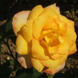Роза Голден Лидер / Golden leader
