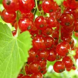 Смородина красная Йонкер ван Тетс / Ribes rubrum Jonkheer van Tets