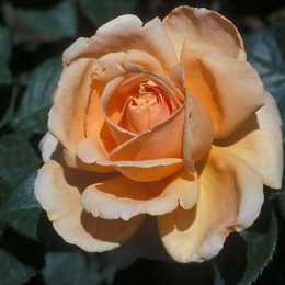 Роза ABBAYE DE CLUNI