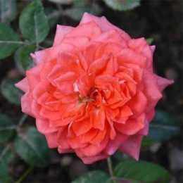 Роза ALLEGRO SYMPHONIE