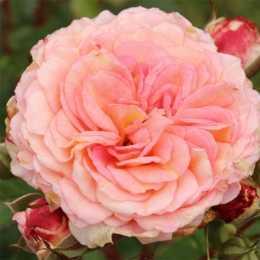 Роза 'Amaretto'