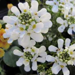 Иберис вечнозеленый 'Appen-Etz'