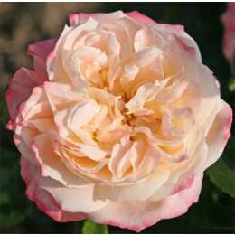 Роза 'Concorde'