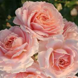 Роза 'Cremosa'