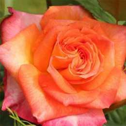 Роза 'Feurio'