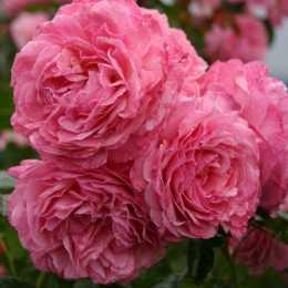 Роза 'Flora Colonia'