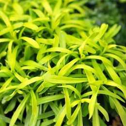 Иберис вечнозеленый 'Golden Candy '