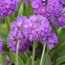 Примула мелкозубчатая Lilac