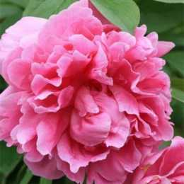 Пион травянистый 'Margareth Truman'