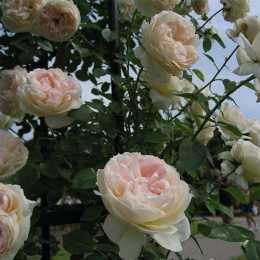 Роза 'Mon Jardin et Ma Maison'