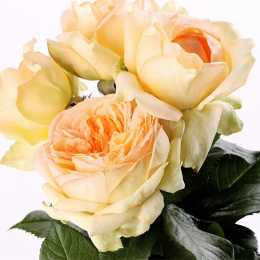 Роза 'Аnahe'