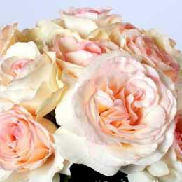 Роза 'Niharika'
