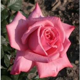 Роза 'Ramira'