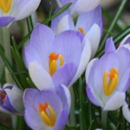 Крокус Томазини 'Lilac Beauty'