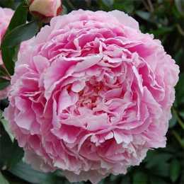 Пион 'Sarah Bernhardt'