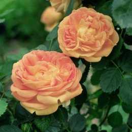 Роза 'Soleil D'or'